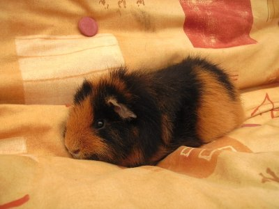 [Boris the guinea pig]