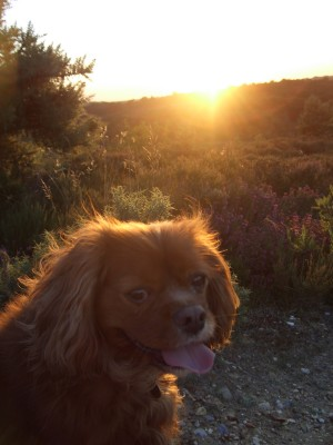 [Chester the King Charles Spaniel]