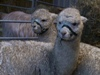 [alpacas-Champers and Caspar]