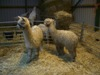 [Alpacas meet goats and geese]
