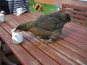 [Chicken drinking tea!]