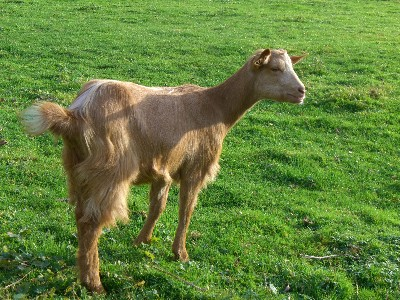 [Georgina the Golden Guernsey Goat]