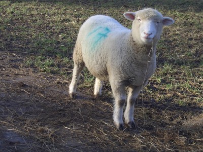 [Fiona the Poll Dorset ewe]
