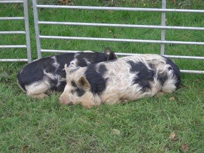 [Kune Kune Pigs at 9 months]