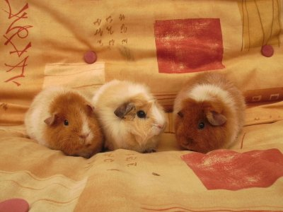 [Sandy, Pickering & Brillo the guinea pigs]