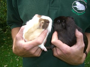 [Tiny Tim and Jet the guinea pigs]