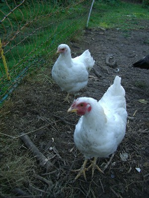 [Two bantam chickens]